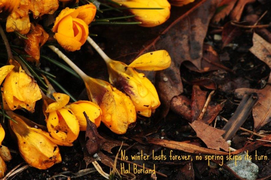 Crocuses and dead leaves