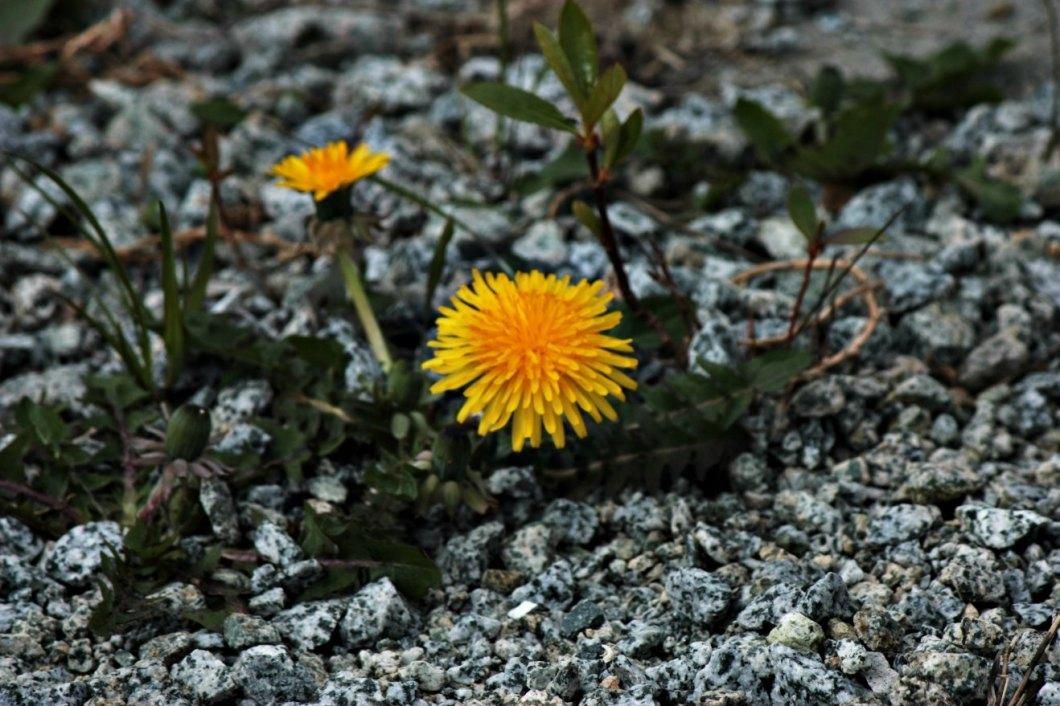 Dandelion in gravel